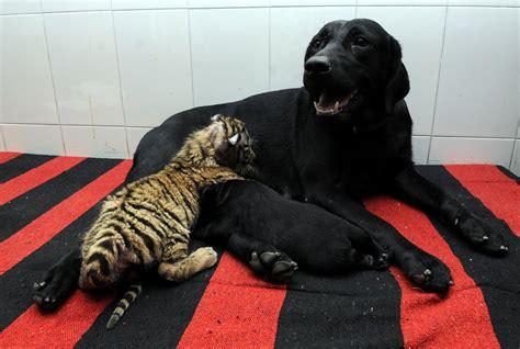 dog nurses orphaned tiger cub picture animal kingdoms