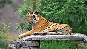 Good news from Tadoba reserve: Tiger numbers rising ...