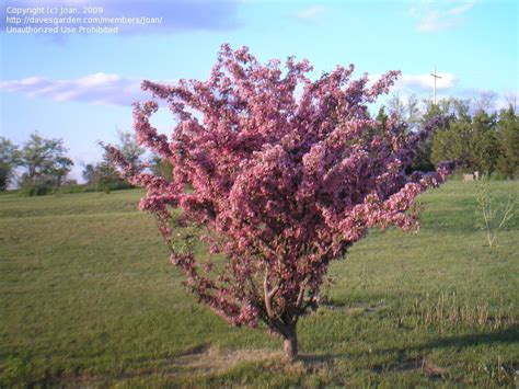 PlantFiles Pictures: Flowering Crabapple 'Thunderchild ...