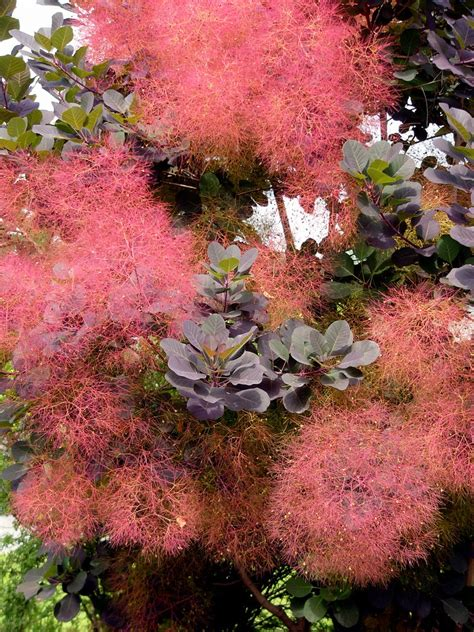 smoke tree growing smoke trees how to grow a smoke tree in your yard