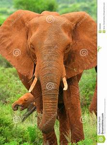African Elephant In The Wild Stock Photo - Image: 9989680