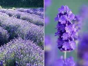 Lavendel Sorten übersicht : lavendelleidenschaft gartenzauber ~ Eleganceandgraceweddings.com Haus und Dekorationen