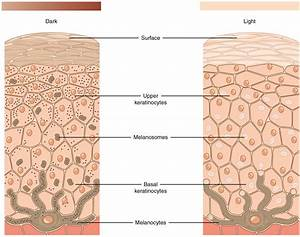 5 1 Layers Of The Skin  U2013 Anatomy And Physiology
