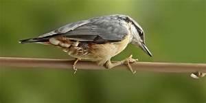 Vogel Mit Roter Brust : vogelarten kleiber spechtmeise ~ Eleganceandgraceweddings.com Haus und Dekorationen