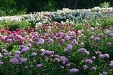 Nichols Arboretum Peony Garden | Matthaei Botanical ...