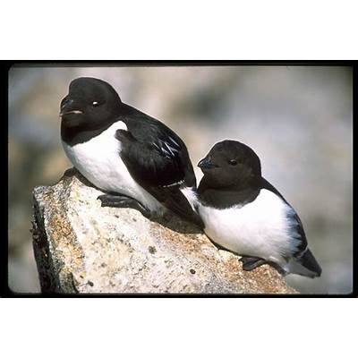 Little AukBirds - Auks & PuffinsPinterest