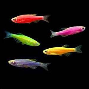 Bruce s Pond Shop & Aquatic Treasures Freshwater Danios