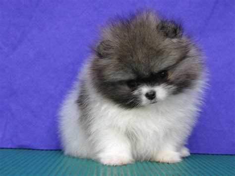 pomeranian lovely baby  wallpaperspomeranian