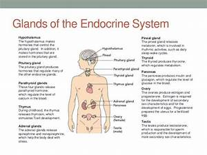 Image Result For Functions Of The Glands In The Endocrine