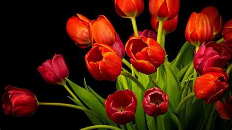 wallpaper red tulips hd  flowers