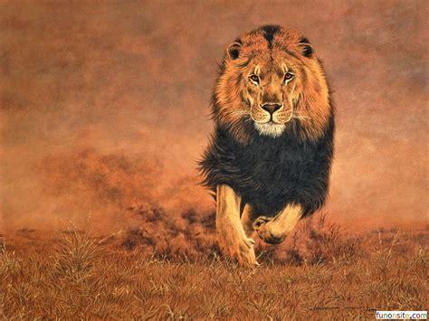 lion wallpaper hd funonsite