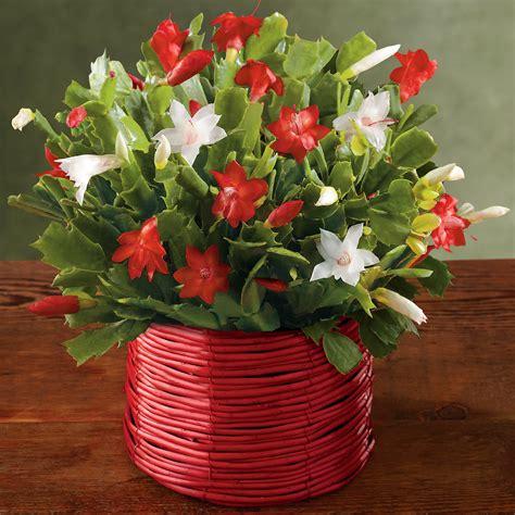 christmas cactus christmas plant gifts harry david