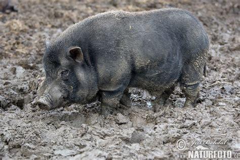 pot bellied pig pot bellied pig pictures pot bellied pig images naturephoto