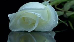 White roses wallpaper free download hd