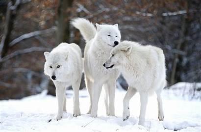 Wolf Arctic Wolves Germany Freund Werner Merzig