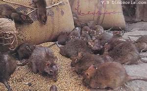 Comment Tuer Un Rat : comment tuer les rats dans une maison taupier sur la france ~ Melissatoandfro.com Idées de Décoration