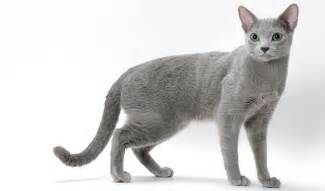 russian blue cat breeders russian blue nebelung cat breed information