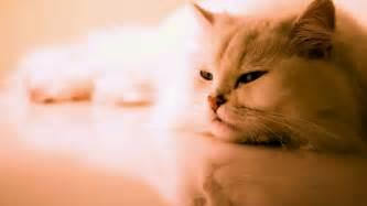 cat wallpaper cat wallpaper 31