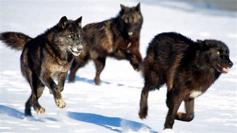 Black Wallpaper Of Wolf by Black Wolf Wallpapers Wallpaper Cave