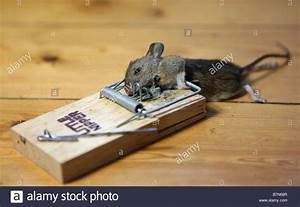 A Dead Mouse Caught In A Mouse Trap Stock Photo  21978903