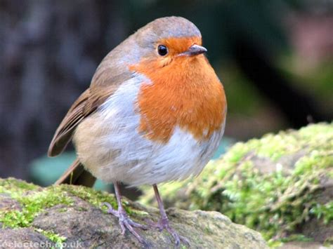 top 28 robin bird information robin bird facts robin