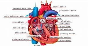 How Does The Circulatory System Work