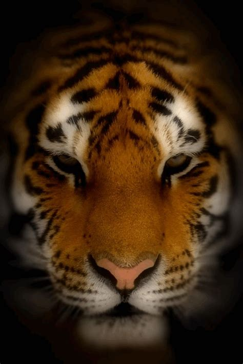 3d Animated Tiger Wallpapers - tiger screensavers and wallpaper wallpapersafari