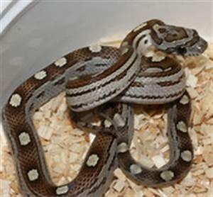 Caramel Motley Corn Snake