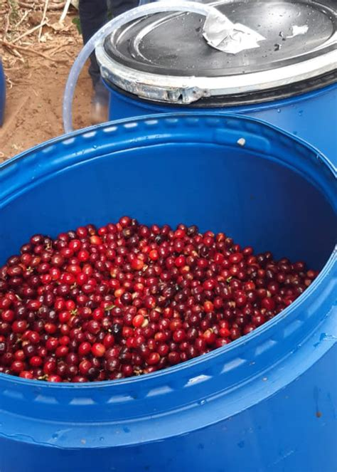 Anaerobic processed coffee is coffee that has been fermented in an environment that lacks oxygen. Bean Buzz: Is Anaerobic Coffee the Next Big Trend in Coffee? - Adding flavour to your success
