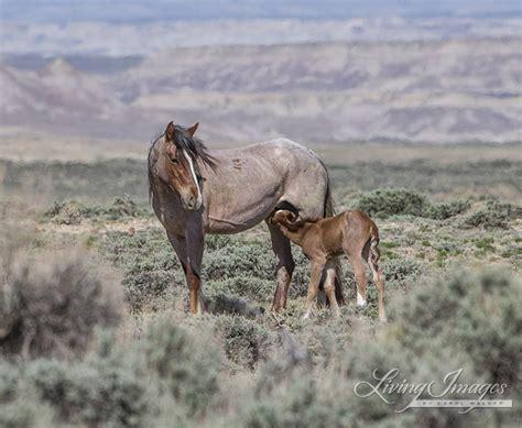 wild horses blm wyoming horse roundup stop foal dangerous newborn nursing freedom mustangs baby mare carol walker speak tell cruel