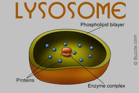 fascinating world  cell organelles   functions