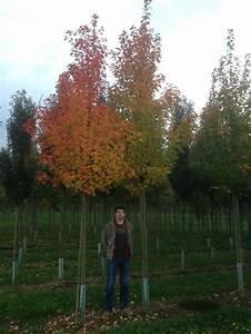 Roter Ahorn Baum : 11 besten pflanzen mit leuchtend roter herbstf rbung ~ Michelbontemps.com Haus und Dekorationen