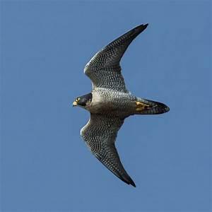 Birding Valencia -Peregrine Falcon- Refugio Marnes