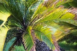 Palme Winterhart Kübel : palmen richtig schneiden mein sch ner garten ~ Michelbontemps.com Haus und Dekorationen