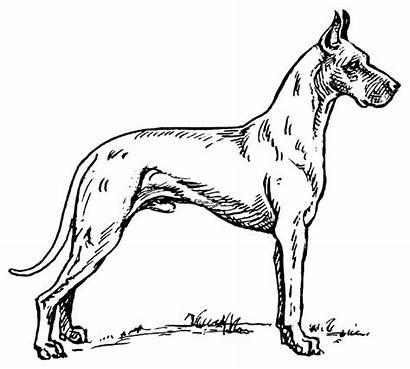 Dane Drawing Dogs Animals Webp