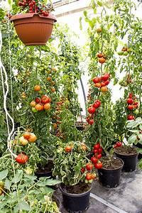 tomaten standort tomaten standort tomaten auf dem balkon With französischer balkon mit tomaten pflanzen garten