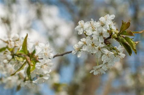 Cherry Blossom Branch In A Japanese Garden Stock Image
