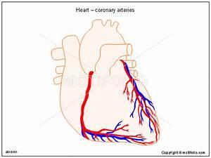 Heart  U2013 Coronary Arteries Illustrations