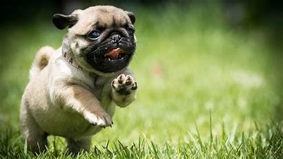 Pug Puppy Wallpapers Dog Puppies Funny Mops