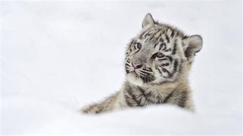 weißer tiger kostüm white tiger cub wallpaper 57 images