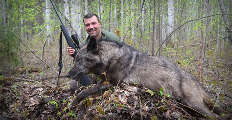 Timber Wolf Hunting