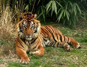 tiger, wonderful, wild, animal, nature, cat