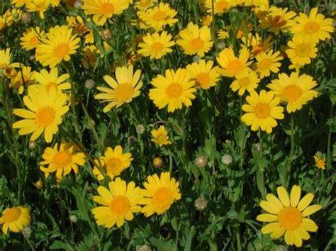 budidaya bunga krisan petani