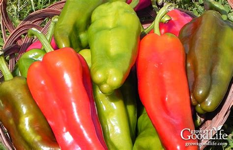 grow  salsa garden