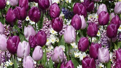 zwiebelblumen pflanzen mit diesen tipps gelingt es