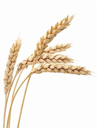 Wheat Background Winter Transparent Cereals Ripe Grain