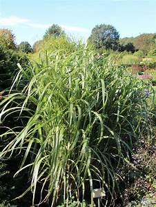 Gräser Zurückschneiden Frühjahr : chinaschilf 39 cosmopolitan 39 miscanthus sinensis var ~ Lizthompson.info Haus und Dekorationen