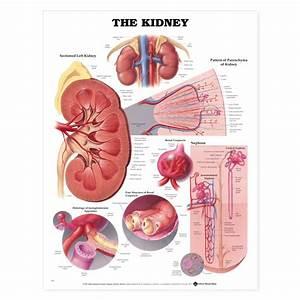 Kidney Anatomy Poster