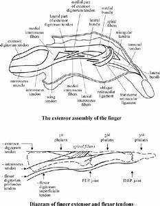 Extensor Assembly And Diagram Of Extensor And Flexor Tendons Of The Finger