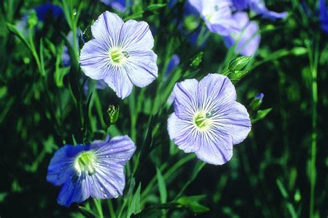 Definition Of Flaxen by Flax Flower Means Domestic Symbol Fate Flowers Flax
